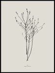 Poster: Waxflower, by Ingrid Kraiser - ingrid art design