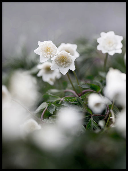 Poster: Wood anemone, by EMELIEmaria