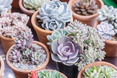 Grow Cactus or Succulents?