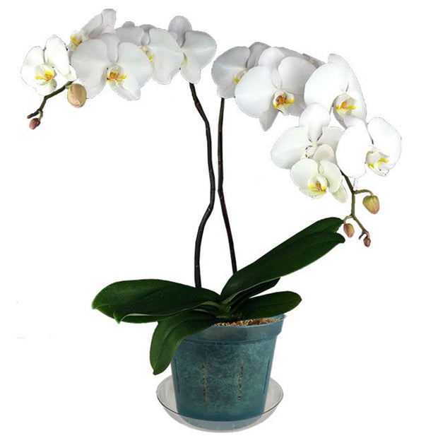 "6"" Blue Sapphire Slotted  Orchid Pot"