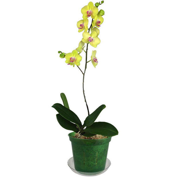 "6"" Green Emerald Slotted  Orchid Pot"