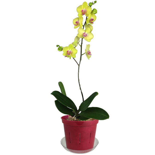 "6"" Ruby Red Slotted  Orchid Pot"