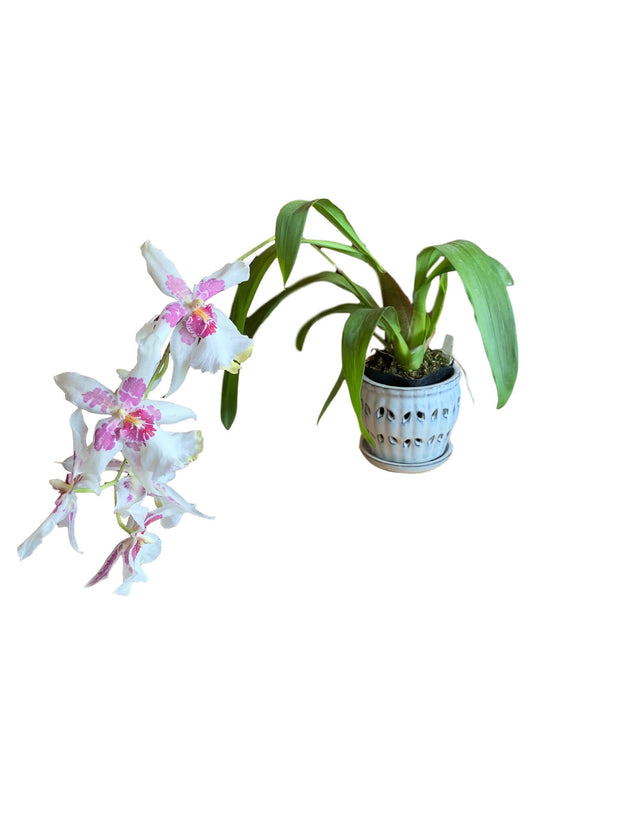 "5"" White Diamond Pinwheel Fluted Orchid Pot"