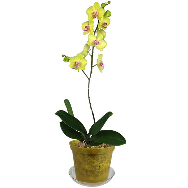 "6"" Yellow Topaz Slotted  Orchid Pot"