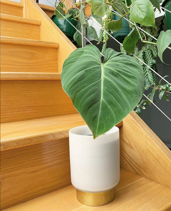 Philodendron Gloriosum Care Tips