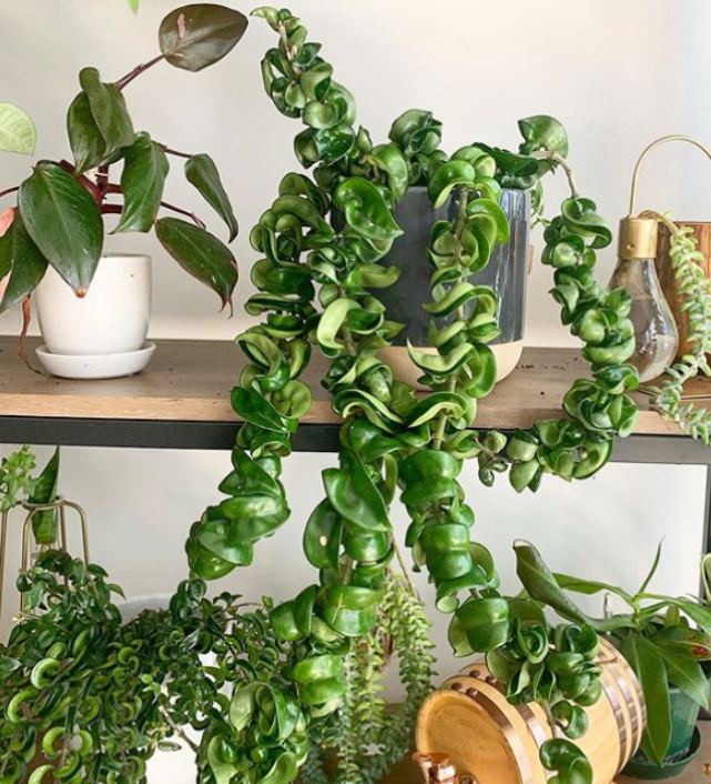 Indian Rope Hoya Care Tips