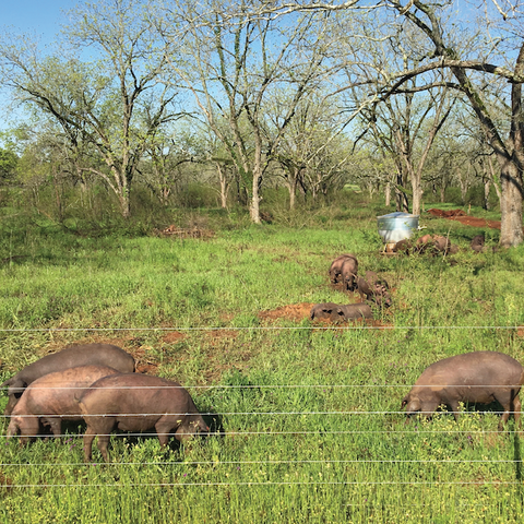 Iberico pigs in walnut orchard