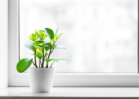 small-house-plant-on-a-white-windowsill-with-a-blurred-background