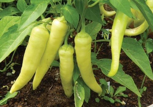 Organic Banana Peppers