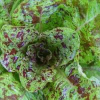 Organic Flashy Troutback Romaine Lettuce
