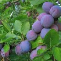 Organic Imperial Epineuse Plums