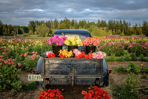 Truck with Dahlias