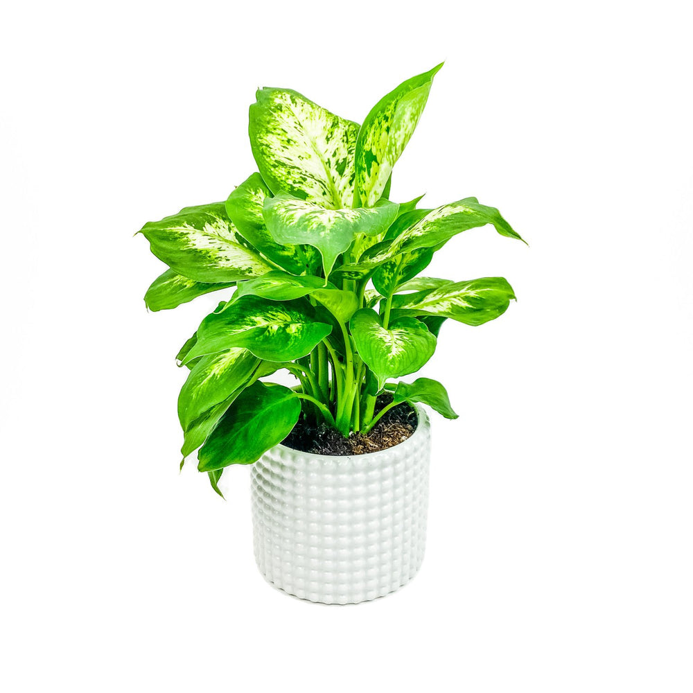 Meet the Dieffenbachia!