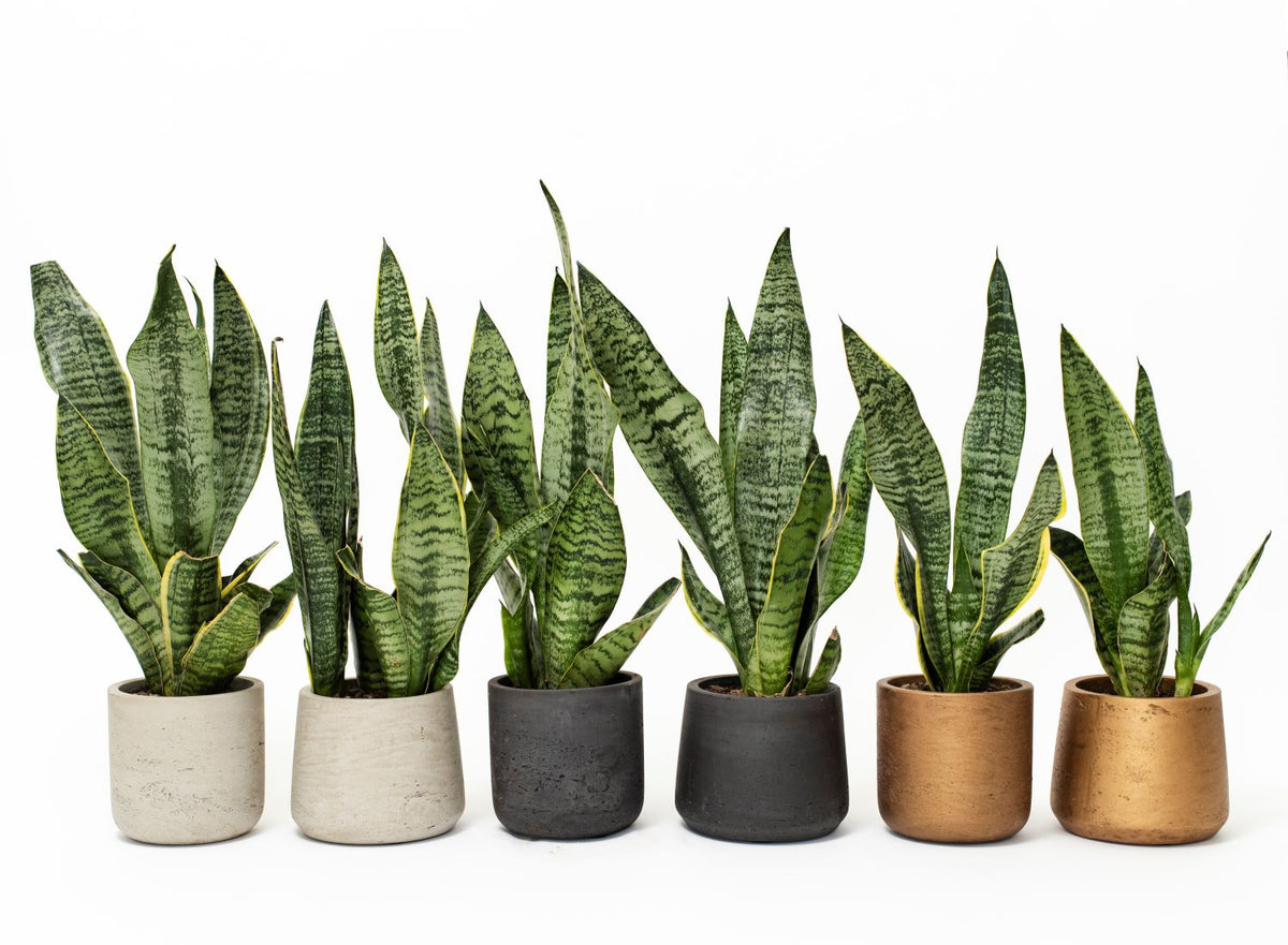 Meet the Sansevieria!