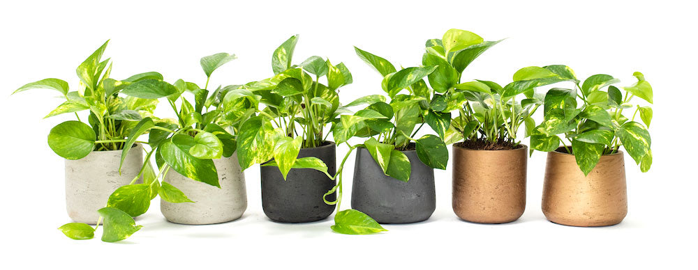Meet the Pothos!