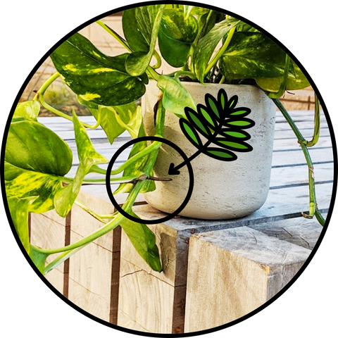 Desk Plants, Hard-to-Kill Plants, Low-Maintenance Plants, Office Plants, Pothos, Ivy Roots