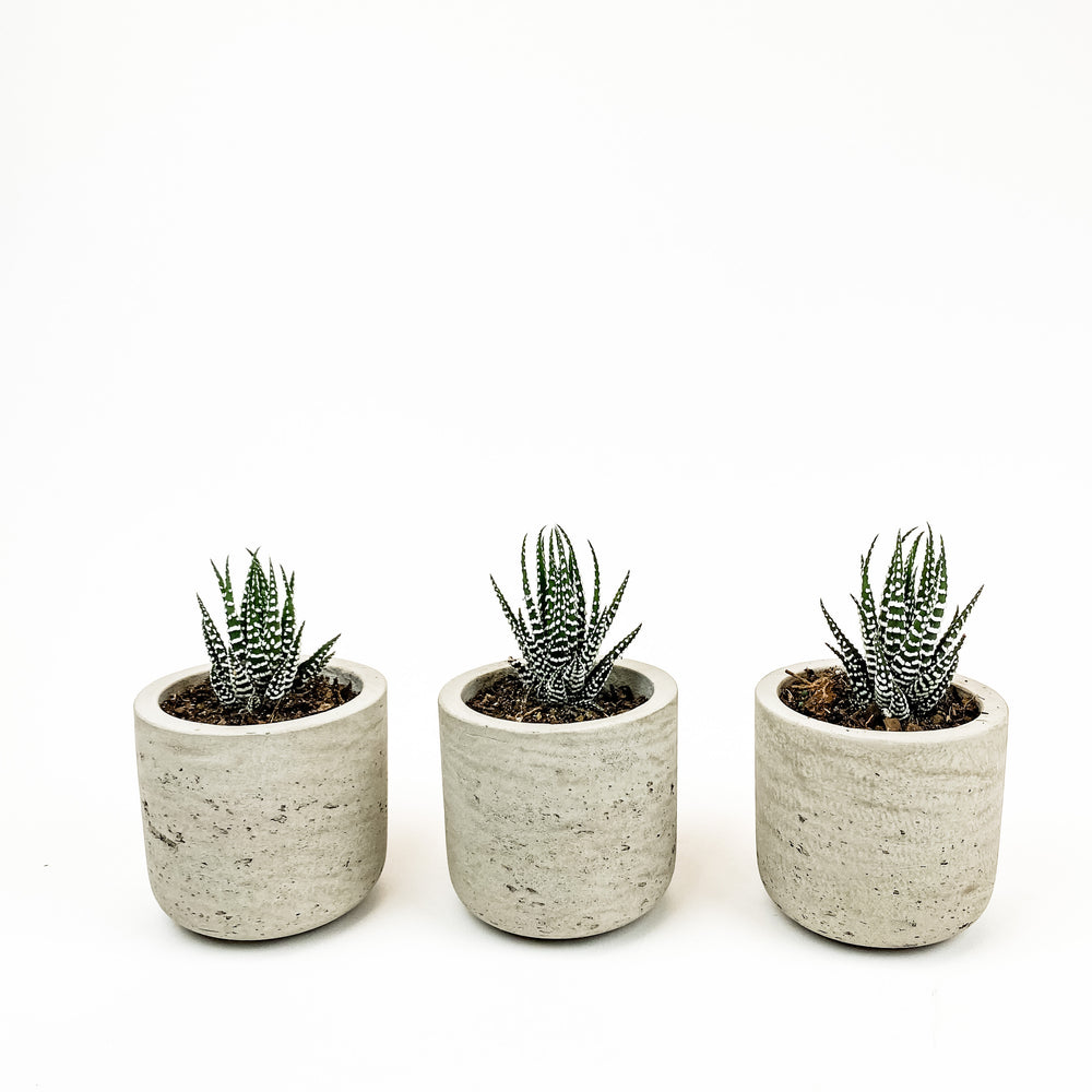 Mini Succulent Sets