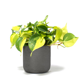 Brasil Philodendron, Brazil Philodendron, Brasil Plant, Vine, Pothos, Ivy, Hard-to-Kill Office Plant, Best Plants for offices, Desk Plants, Desk Plants Austin, Office Plants, House Plants, Easy House Plants, Indoor Plants, Easiest Indoor Plants, Easiest Plants to Keep Alive, Philodendron