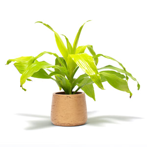 Dracaena, Dracaena Limelight, Hard-to-Kill Office Plant, Best Plants for offices, Desk Plants, Desk Plants Austin, Office Plants, House Plants, Easy House Plants, Indoor Plants, Easiest Indoor Plants, Easiest Plants to Keep Alive
