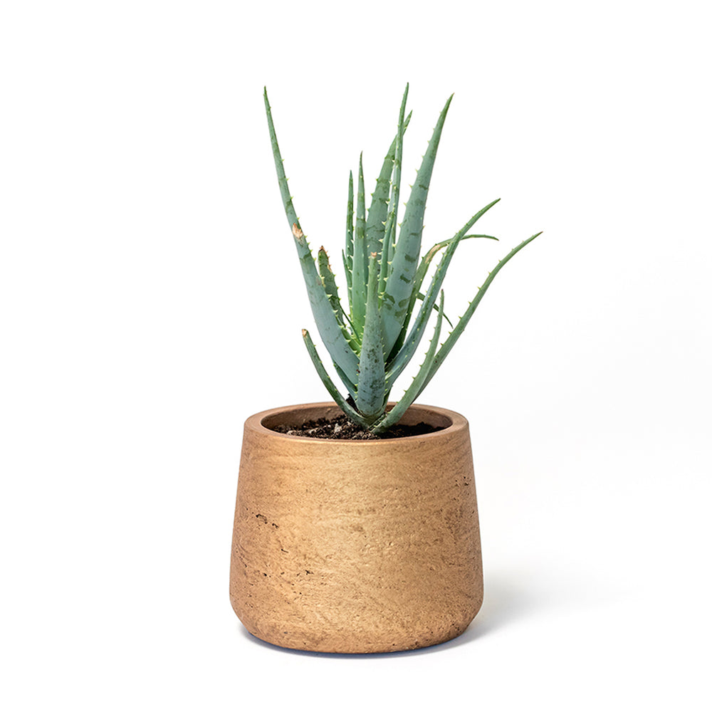 Succulent, Buy Succulents Online, Aloe, Aloe Vera, Hedgehog Aloe, Hard-to-Kill Office Plant, Best Plants for offices, Desk Plants, Desk Plants Austin, Office Plants, House Plants, Easy House Plants, Indoor Plants, Easiest Indoor Plants, Easiest Plants to Keep Alive, Best Plants, aloe vera plants