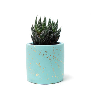 Succulent, Buy Succulents Online, Haworthia, Haworthia Coarctata, Hard-to-Kill Office Plant, Best Plants for offices, Desk Plants, Desk Plants Austin, Office Plants, House Plants, Easy House Plants, Indoor Plants, Easiest Indoor Plants, Easiest Plants to Keep Alive, Best Plants