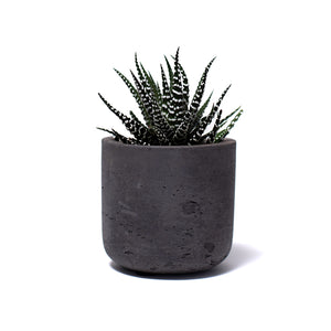 Succulent, Buy Succulents Online, Haworthia, Zebra Haworthia, Zebra Cactus, Hard-to-Kill Office Plant, Best Plants for offices, Desk Plants, Desk Plants Austin, Office Plants, House Plants, Easy House Plants, Indoor Plants, Easiest Indoor Plants, Easiest Plants to Keep Alive, Best Plants