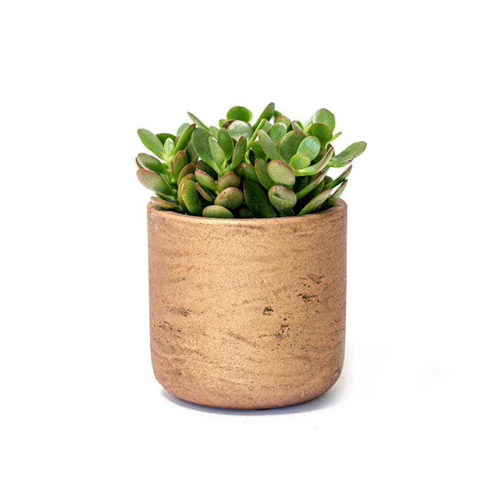 Succulent, Plant Gift, Plant Gifts, Gifts,Buy Succulents Online, Jade Plant, Hard-to-Kill Office Plant, Best Plants for offices, Desk Plants, Desk Plants Austin, Office Plants, House Plants, Easy House Plants, Indoor Plants, Easiest Indoor Plants, Easiest Plants to Keep Alive, Best Plants