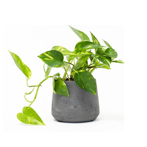 Devil's Ivy, Pothos, Pothos Ivy, Pothos Vine, Golden Pothos, Ivy, Vine, Hard-to-Kill Office Plant, Best Plants for offices, Desk Plants, Desk Plants Austin, Office Plants, House Plants, Easy House Plants, Indoor Plants, Easiest Indoor Plants, Easiest Plants to Keep Alive, Philodendron