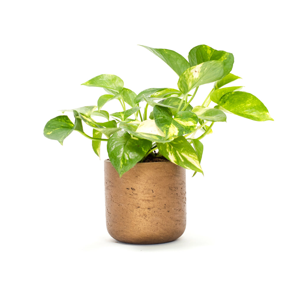 Pothos, Pothos Ivy, Pothos Vine, Golden Pothos, Ivy, Vine, Hard-to-Kill Office Plant, Best Plants for offices, Desk Plants, Desk Plants Austin, Office Plants, House Plants, Easy House Plants, Indoor Plants, Easiest Indoor Plants, Easiest Plants to Keep Alive, Philodendron