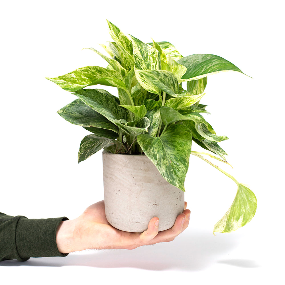 Marble Queen, Marble Queen Pothos, Pearls and Jade Pothos, Pearls N Jade Pothos, Devil's Ivy, Pothos, Pothos Ivy, Pothos Vine, Golden Pothos, Ivy, Vine, Hard-to-Kill Office Plant, Best Plants for offices, Desk Plants, Desk Plants Austin, Office Plants, House Plants, Easy House Plants, Indoor Plants, Easiest Indoor Plants, Easiest Plants to Keep Alive, Philodendron