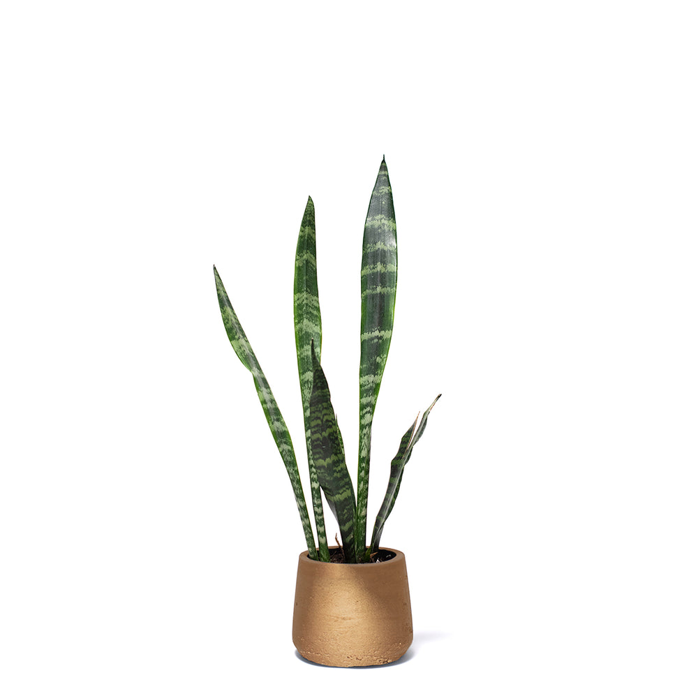 Sansevieria, Snake Plant, Hard-to-Kill Office Plant, Best Plants for offices, Desk Plants, Desk Plants Austin, Office Plants, Black Coral Sansevieria