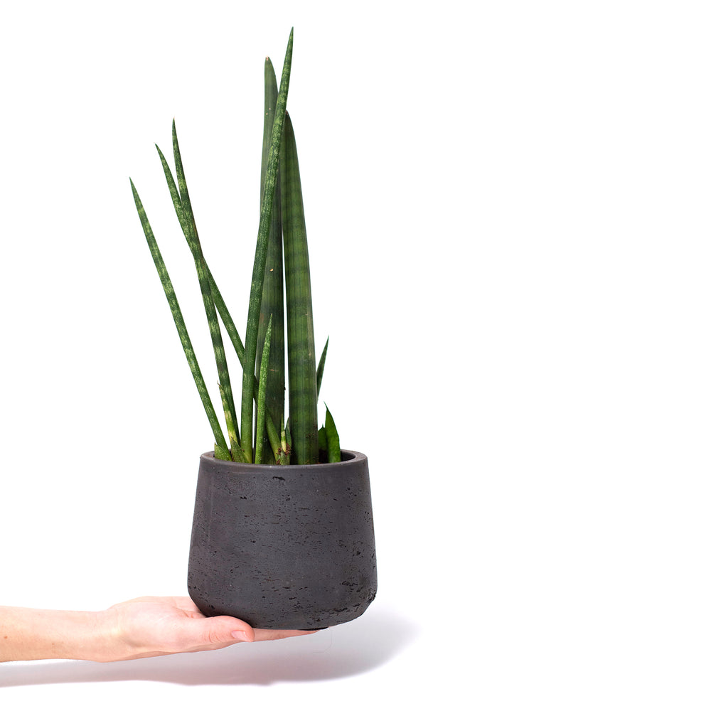 Succulent, Buy Succulents Online, Sansevieria, Sansevieria Cylindrica, Snake Plant, Hard-to-Kill Office Plant, Best Plants for offices, Desk Plants, Desk Plants Austin, Office Plants, House Plants, Easy House Plants, Indoor Plants, Easiest Indoor Plants, Easiest Plants to Keep Alive, Best Plants