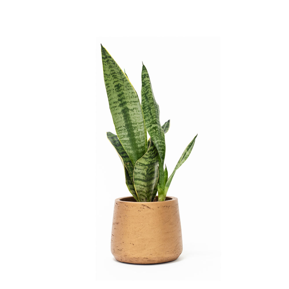 {product_title} {product_type} Desk Plants, Office Plants, House Plants, Indoor Plants, Hard to Kill Plants