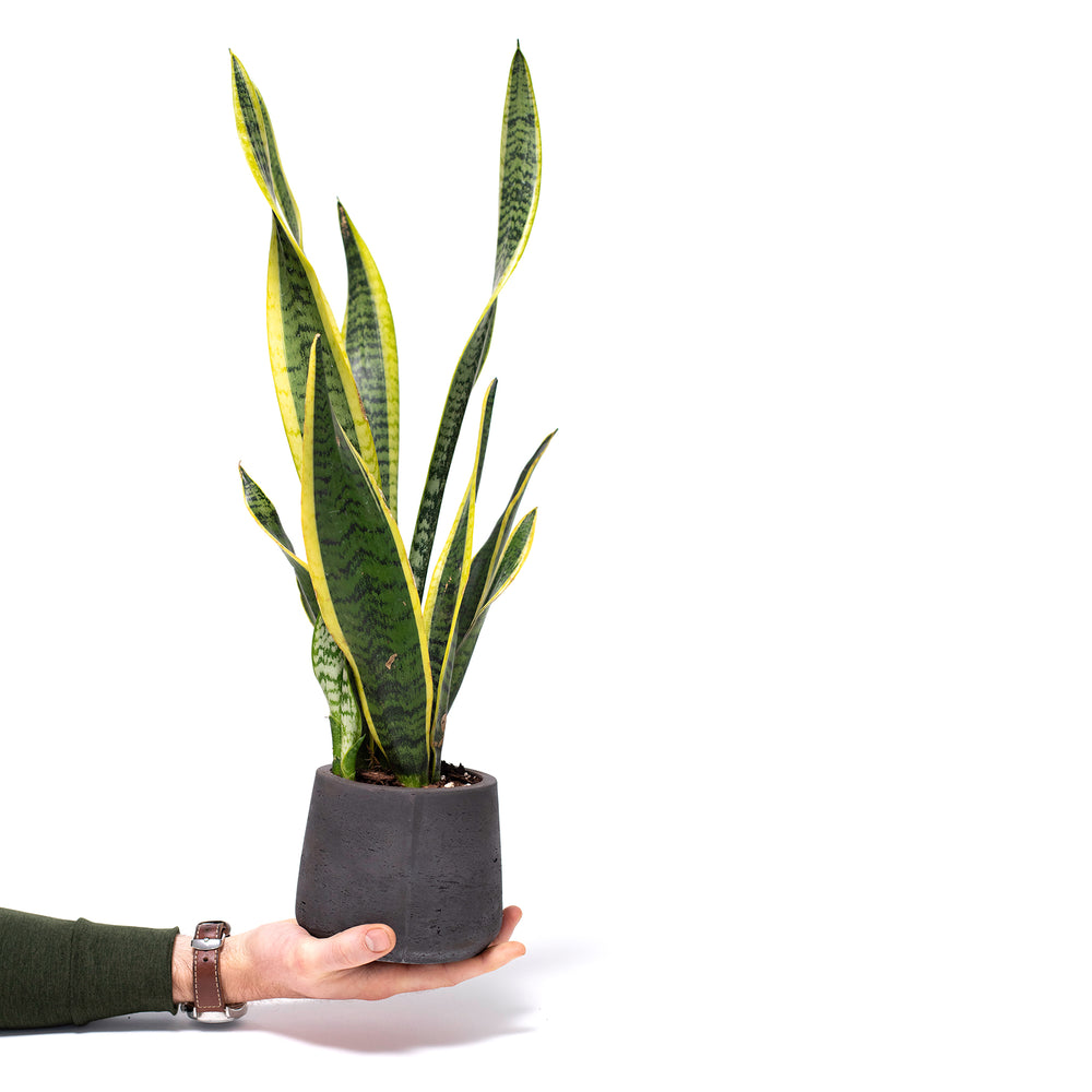 Succulent, Buy Succulents Online, Sansevieria, Sansevieria Laurentii, Snake Plant, Hard-to-Kill Office Plant, Best Plants for offices, Desk Plants, Desk Plants Austin, Office Plants, House Plants, Easy House Plants, Indoor Plants, Easiest Indoor Plants, Easiest Plants to Keep Alive, Best Plants