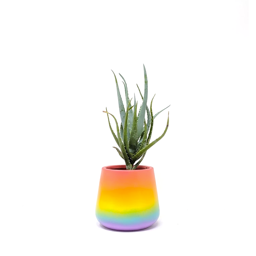 hedgehog aloe in pride pot
