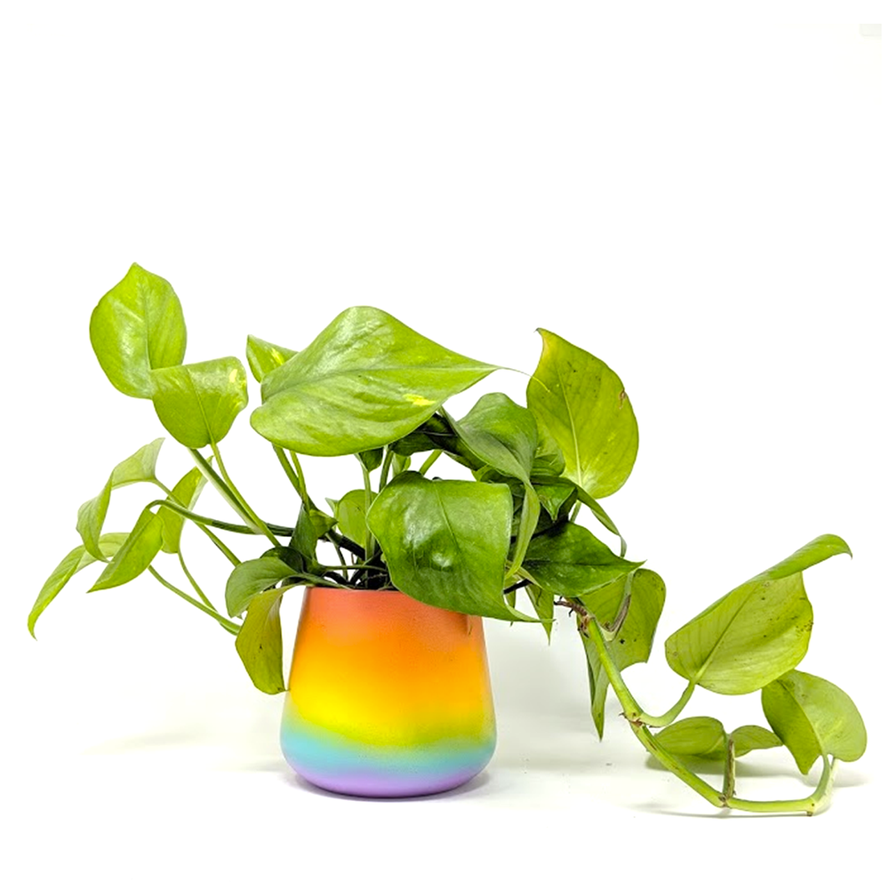 golden pothos in pride pot