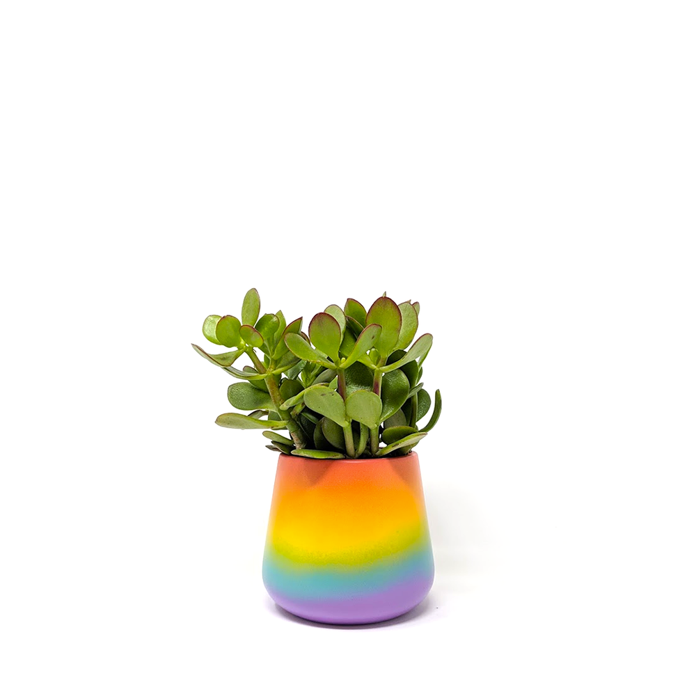 jade plant in pride pot