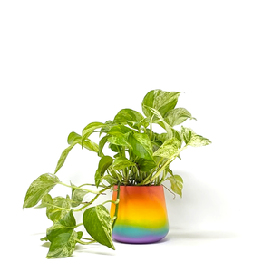 marble queen pothos in pride pot