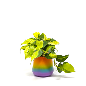 philodendron brasil in pride pot