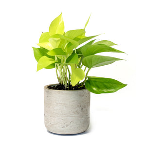 Succulent, Plant Gift, Plant Gifts, Gifts,Buy Succulents Online, Neon Pothos, Hard-to-Kill Office Plant, Best Plants for offices, Desk Plants, Desk Plants Austin, Office Plants, House Plants, Easy House Plants, Indoor Plants, Easiest Indoor Plants, Easiest Plants to Keep Alive, Best Plants