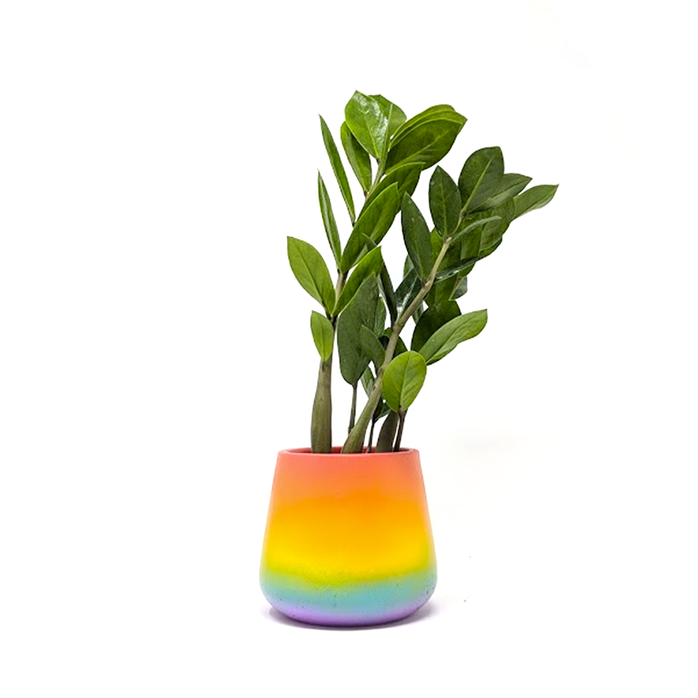 zz plant in pride pot