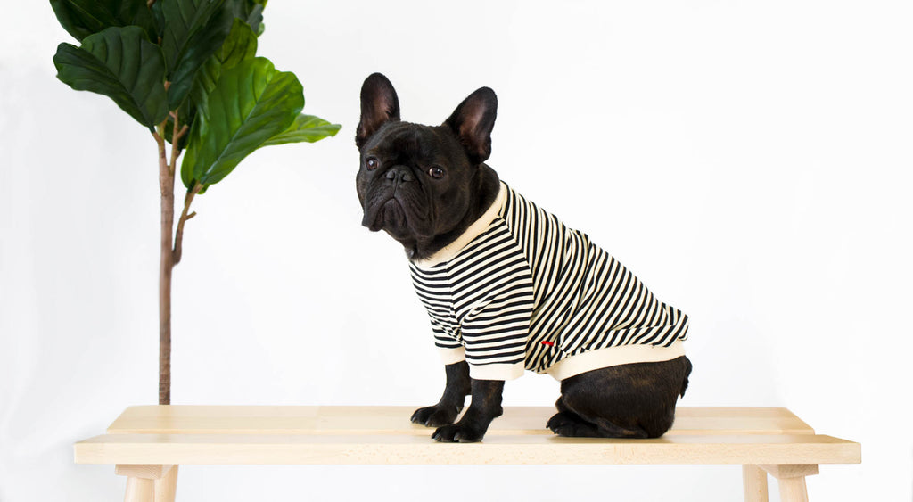 French Bulldog in Striped T-Shirt