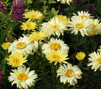 Leucanthemum Goldfinch - Perennial Gallon