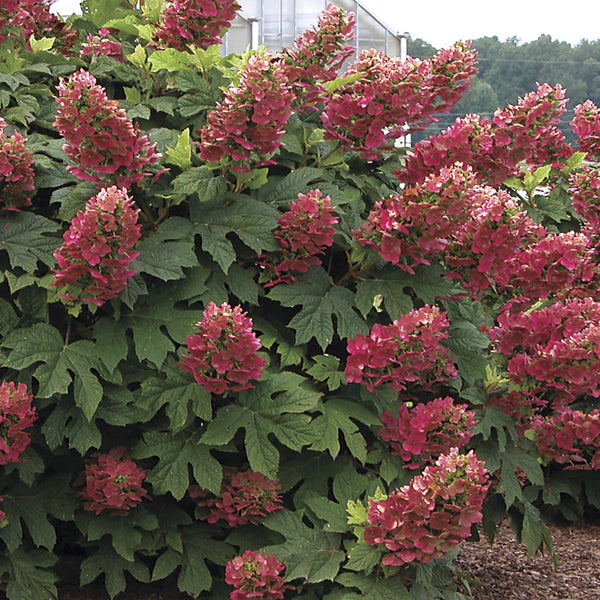 Hydrangea Ruby Slippers - 3 Gallon Shrub