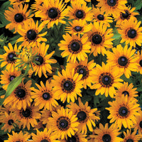 Rudbeckia Denver Daisy - Annual 4 Pack