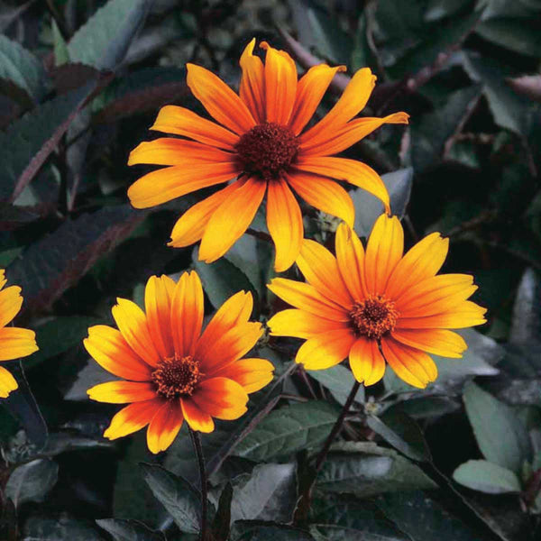 Heliopsis Burning Hearts (False Sunflower) - Perennial 3 1/2""