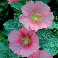 Hollyhock Spotlight Radiant Rose - Perennial 3 1/2""