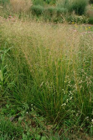 "Deschampsia ""Caespitosa""(Tuffted Hair/Tussock Grass) - Perennial Sun/Pt Shade/Shade - 2 Gallon"