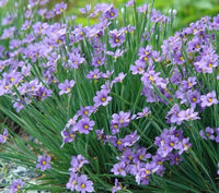 Sisyrinchium Angustifolium (Blue Eyed Grass) - Perennial 3 1/2""