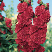 Hollyhock Chaters Scarlet (Alcea) - Perennial 3 1/2""